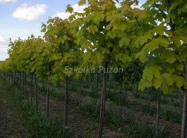 Acer platanoides (klon zwyczajny) 'Crimson Gold'