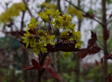 Acer platanoides (klon zwyczajny) 'Crimson King' (wiosna)