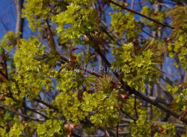 Acer platanoides (klon zwyczajny) 'Globosum' (wiosna)