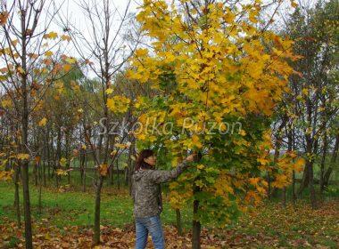 Acer platanoides (klon zwyczajny) (jesień)