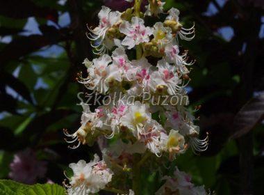 Aesculus hippocastanum (kasztanowiec biały) 'Aurea'