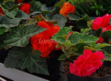 Begonia (begonia) 'Rosana Red'