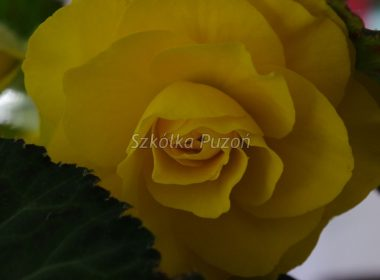 Begonia (begonia) tuberhybrida 'Nonstop Yellow'