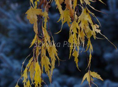 Betula pendula (brzoza brodawkowata) 'Gracilis' (jesień)
