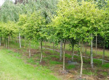 Betula pubescens (brzoza omszona) 'Aurea'