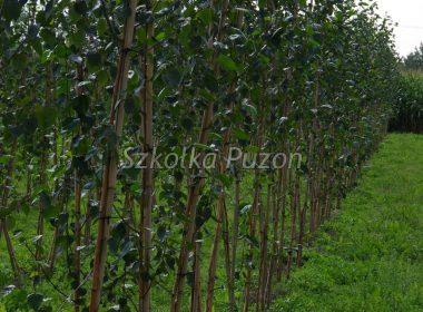 Betula utilis (brzoza pożyteczna) 'Doorenbos' x3