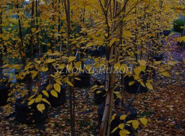 Betula utilis (brzoza pożyteczna) 'Doorenbos' (jesień)