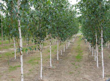 Betula utilis (brzoza pożyteczna) 'Doorenbos'