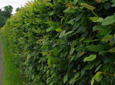 Carpinus betulus (grab pospolity) (żywopłot)