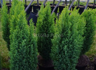 Chamaecyparis lawsoniana (cyprysik Lawsona) 'Ellwood's Gold'
