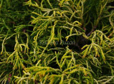 Chamaecyparis obtusa (cyprysik tępołuskowy) 'Tsatsumi Gold'
