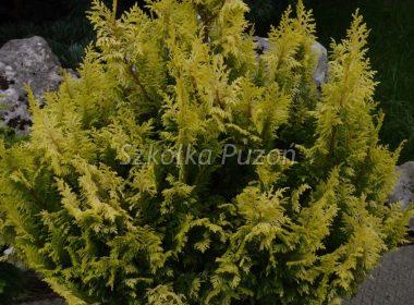 Chamaecyparis pisifera (cyprysik groszkowy) 'Plumosa Aurea'