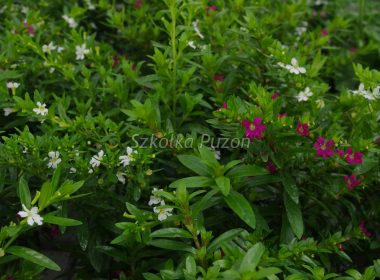 Cuphea hyssopifolia (Kufea hyzopolistna)