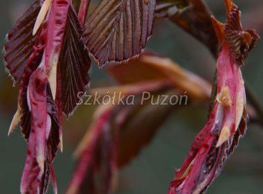Fagus sylvatica (Buk pospolity) 'Purpurea' (wiosna)