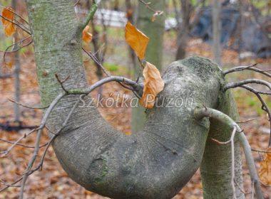 Fagus sylvatica (Buk pospolity) 'Purpurea'