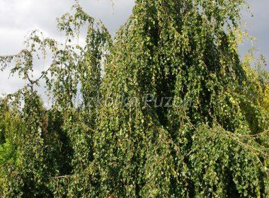 Fagus sylvatica (buk pospolity) 'Pendula'