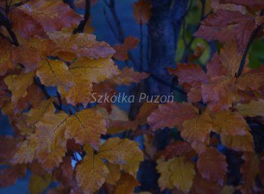 Fagus sylvatica (buk pospolity) 'Rohan Obelisk' (jesień)