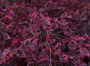 Fagus sylvatica (buk pospolity) 'Tricolor'