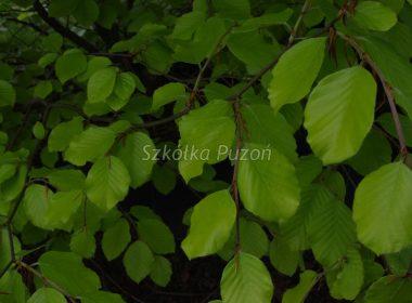 Fagus sylvatica (buk pospolity) 'Zlatia'