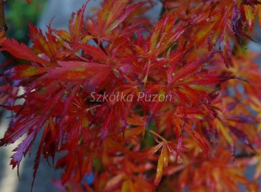 Acer palmatum (klon palmowy) (jesień)