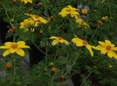 Bidens ferulifolia (Uczep rózgowaty)
