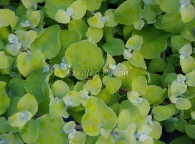 Helichrysum petiolare (Kocanka włochata) 'Aurea'