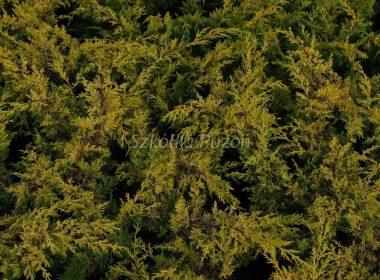 Juniperus chinensis (jałowiec chiński) 'Plumosa Aurea'