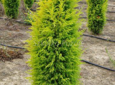 Juniperus communis (Jałowiec pospolity) 'Gold Cone'