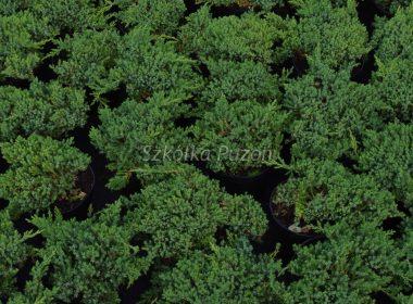 Juniperus procumbens (jałowiec rozesłany) 'Nana'