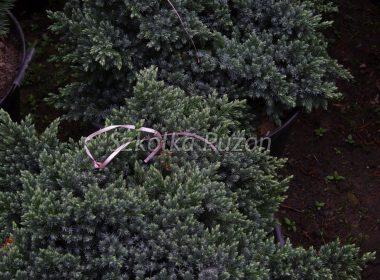 Juniperus squamata (jałowiec łuskowy) 'Blue Star'