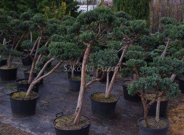 Juniperus squamata (jałowiec łuskowy) 'Meyeri' (formowany)