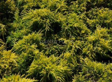 Juniperus x pfitzeriana (jałowiec Pfitzera) 'Gold Star'