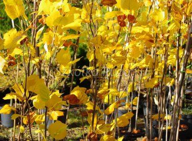 Liriodendron tulipifera (tulipanowiec amerykański) 'Fastigiata' (jesień)