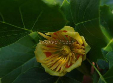 Liriodendron tulipifera (tulipanowiec amerykański)