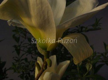 Magnolia ×brooklynensis (Magnolia brooklińska) 'Yellow Bird'