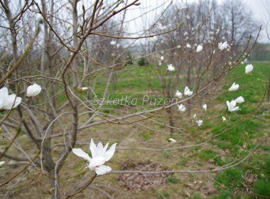 Magnolia kobus (magnolia japońska)