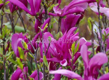 Magnolia (magnolia) 'Susan'