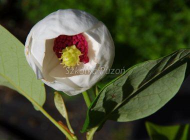 Magnolia sieboldii (Magnolia Siebolda)