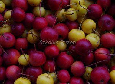 Malus (jabłoń) 'Golden Hornet' i 'Ola'