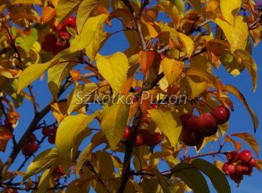 Malus (jabłoń) 'Ola'