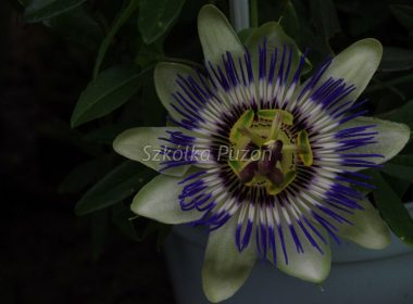 Passiflora caerulea (Męczennica błękitna)