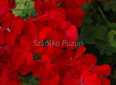 Pelargonium zonale (Pelargonia rabatowa)