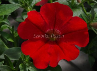 Petunia ×hybrida (Surfinia)