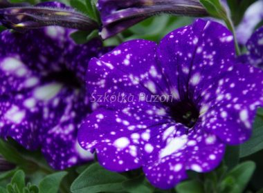 Petunia (Surfinia) Headliner 'Night Sky'