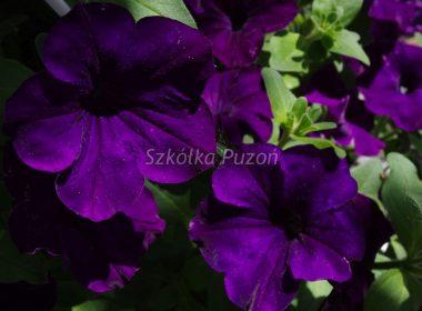 Petunia (Surfinia) hybrida Grandiflora