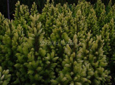 Picea glauca (Świerk biały) 'Daisy's White'
