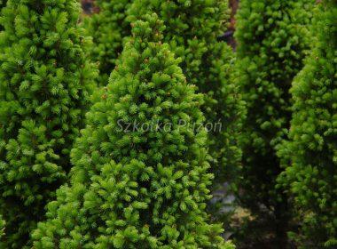 Picea glauca (świerk biały) 'Conica'