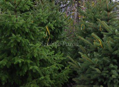 Picea omorika (świerk serbski) i Picea pungens (świerk kłujący) glauca