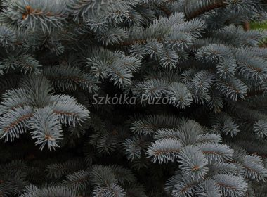 Picea pungens (świerk kłujący) 'Glauca Globosa'