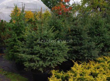 Picea pungens (świerk kłujący) glauca